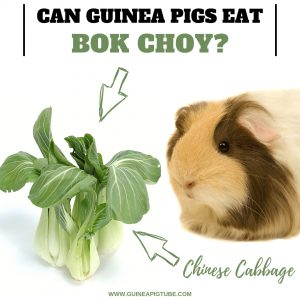 Can Guinea Pigs Eat Bok Choy