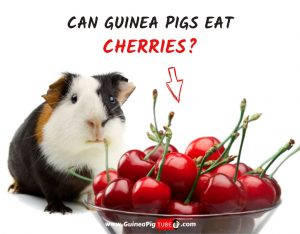 Can Guinea Pigs Eat Cherries (Benefits, Risks, Serving Size & More)