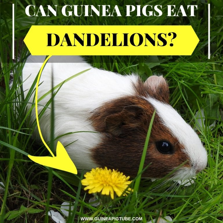 Can Guinea Pigs Eat Dandelions_
