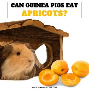 Can Guinea Pigs eat Apricots