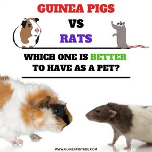 Guinea Pigs vs. Rats Which One Is Better to Have as a Pet