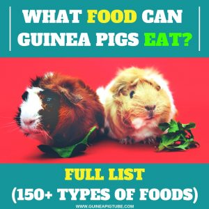 What Food Can Guinea Pigs Eat - Full List (150+ types of foods)