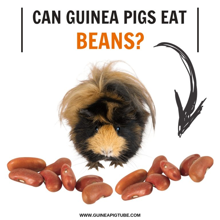 Can Guinea Pigs Eat Beans