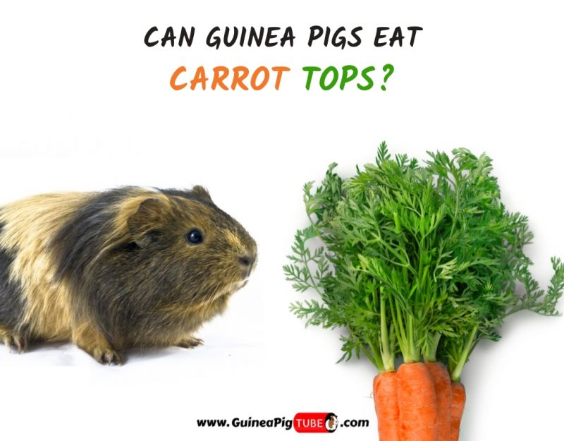 Can Guinea Pigs Eat Carrot Tops(Benefits, Risks, Serving Size & More)