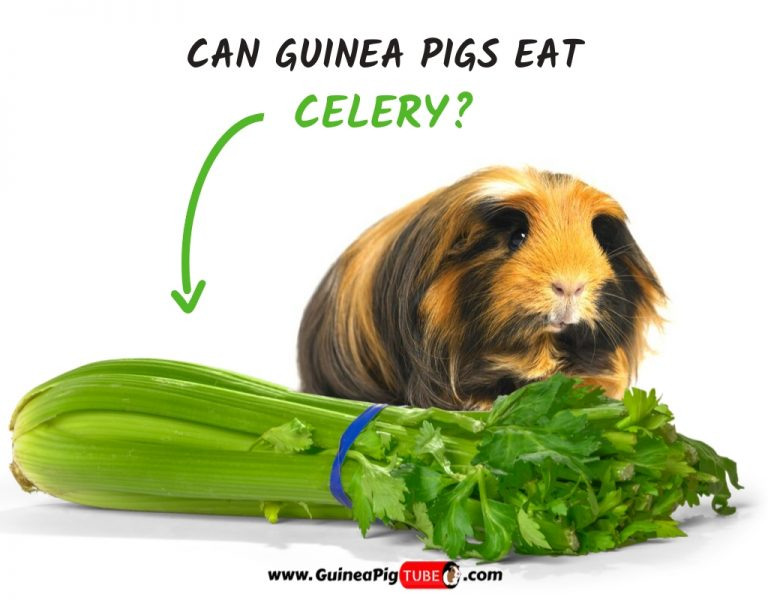 Can Guinea Pigs Eat Celery (Benefits, Risks, Serving Size & More)