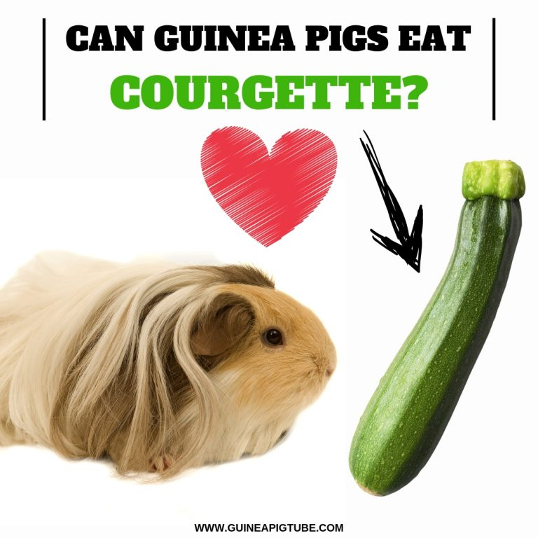 Can Guinea Pigs Eat Courgette