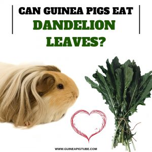 Can Guinea Pigs Eat Dandelion Leaves