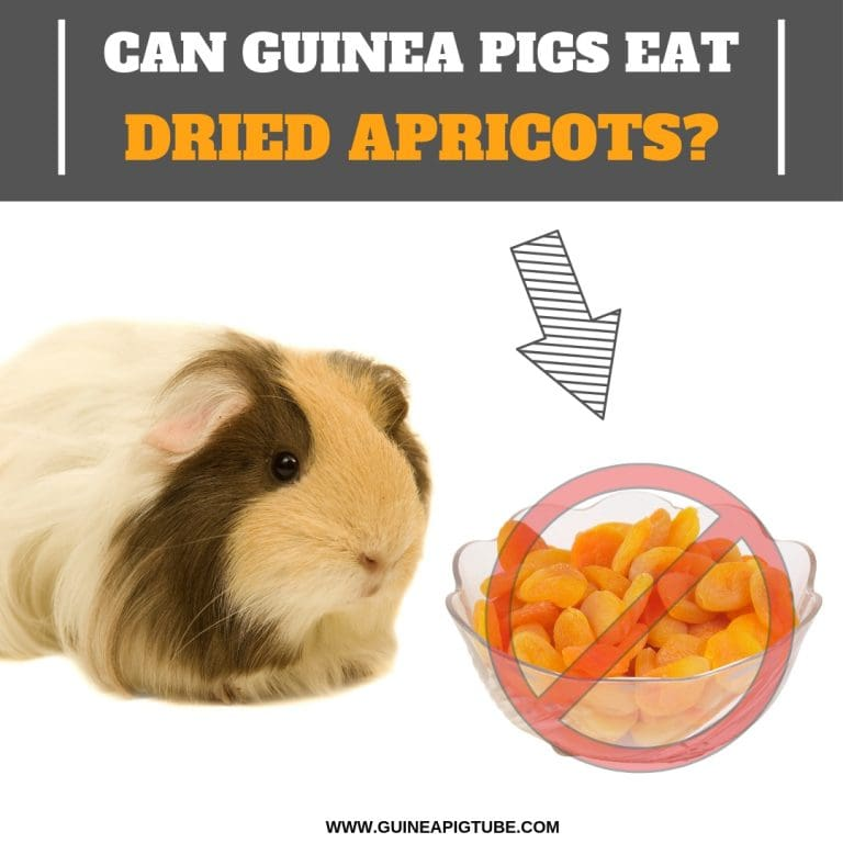 Can Guinea Pigs Eat Dried Apricots