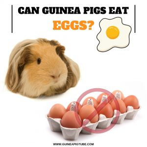 Can Guinea Pigs Eat Eggs