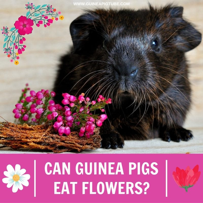 Can Guinea Pigs Eat Flowers