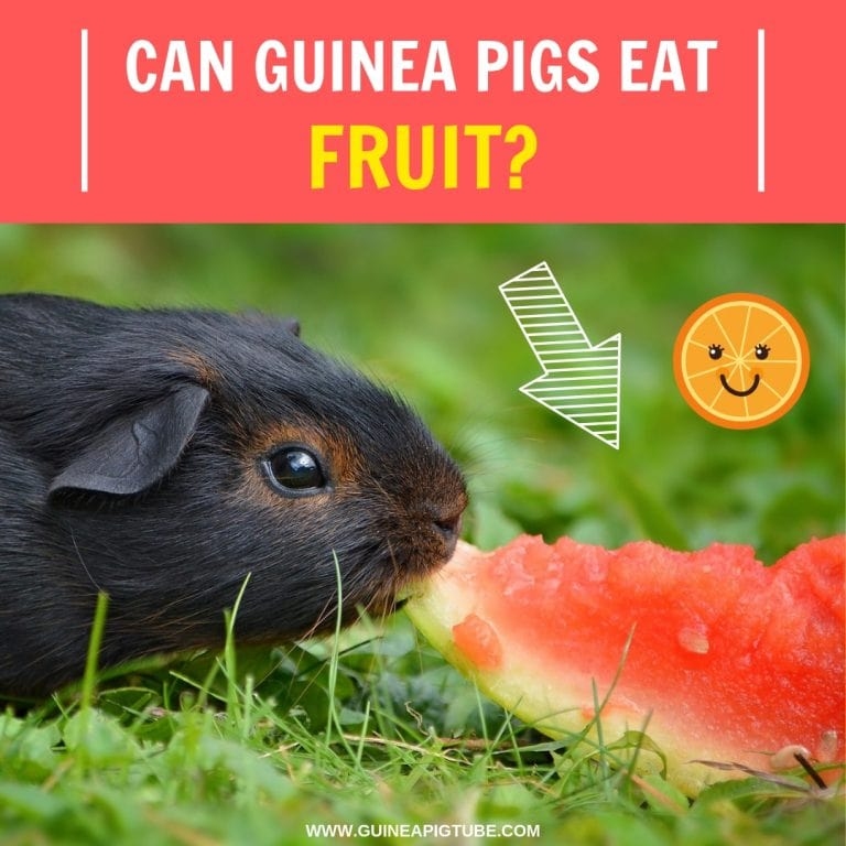 Can Guinea Pigs Eat Fruit