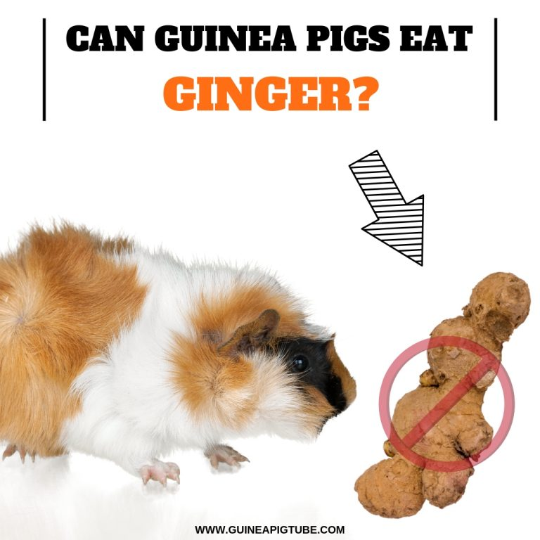 Can Guinea Pigs Eat Ginger