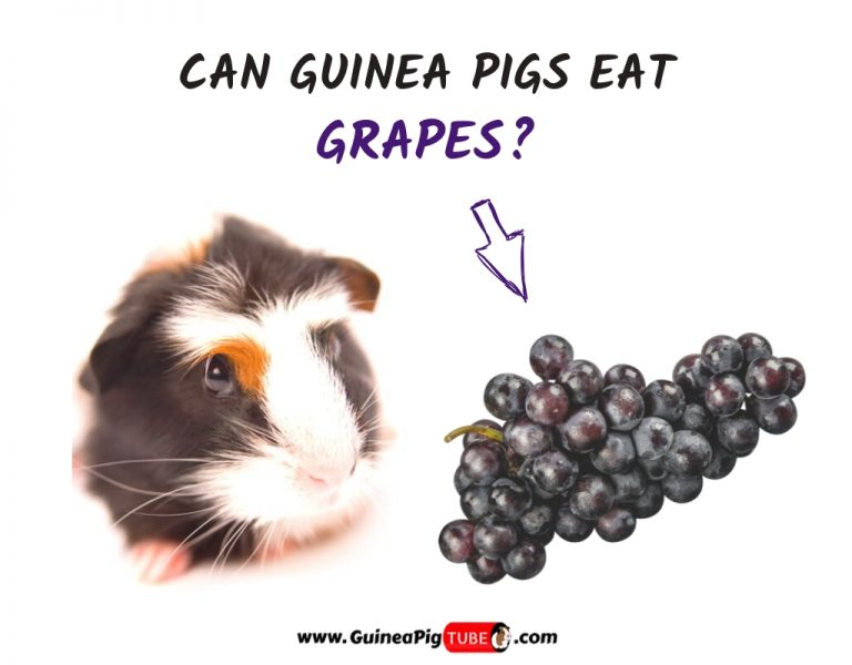 Can Guinea Pigs Eat Grapes (Benefits, Risks, Serving Size & More)