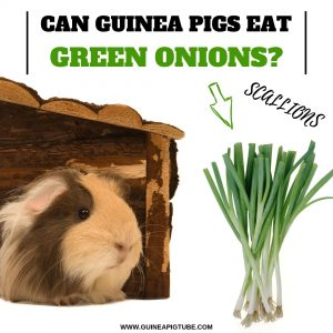 Can Guinea Pigs Eat Green Onions (Scallions)