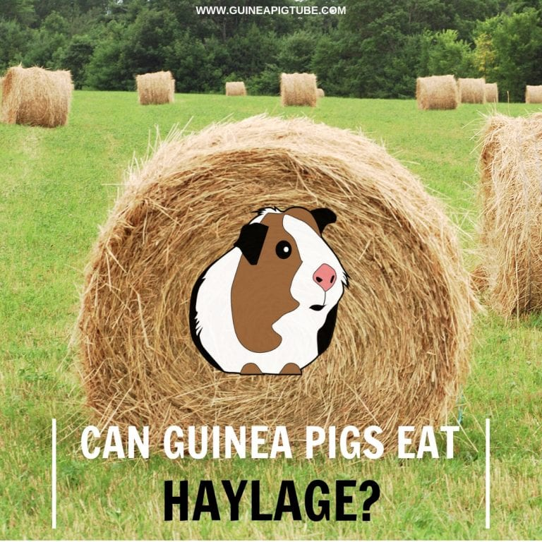 Can Guinea Pigs Eat Haylage.