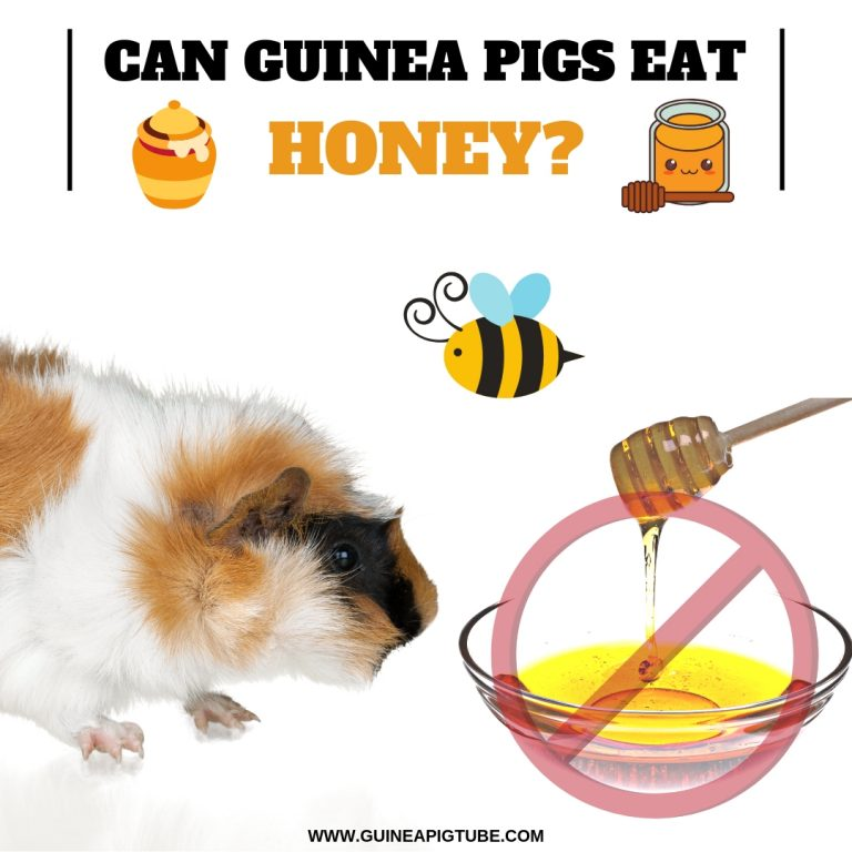 Can Guinea Pigs Eat Honey