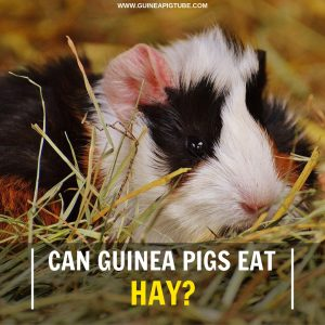 Can Guinea Pigs Eat Hay