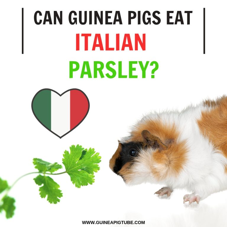 Can Guinea Pigs Eat Italian Parsley