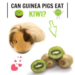 Can Guinea Pigs Eat Kiwi