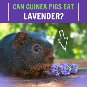 Can Guinea Pigs Eat Lavender