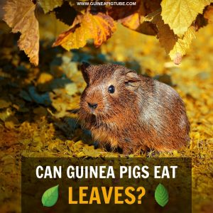 Can Guinea Pigs Eat Leaves.