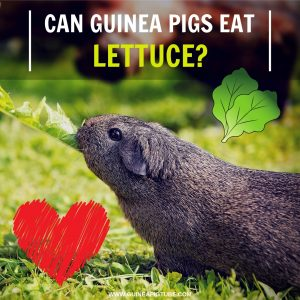 Can Guinea Pigs Eat Lettuce