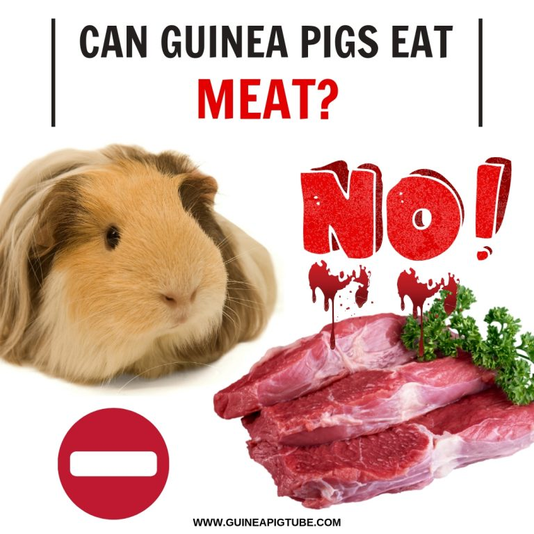 Can Guinea Pigs Eat Meat