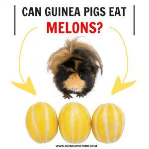 Can Guinea Pigs Eat Melons