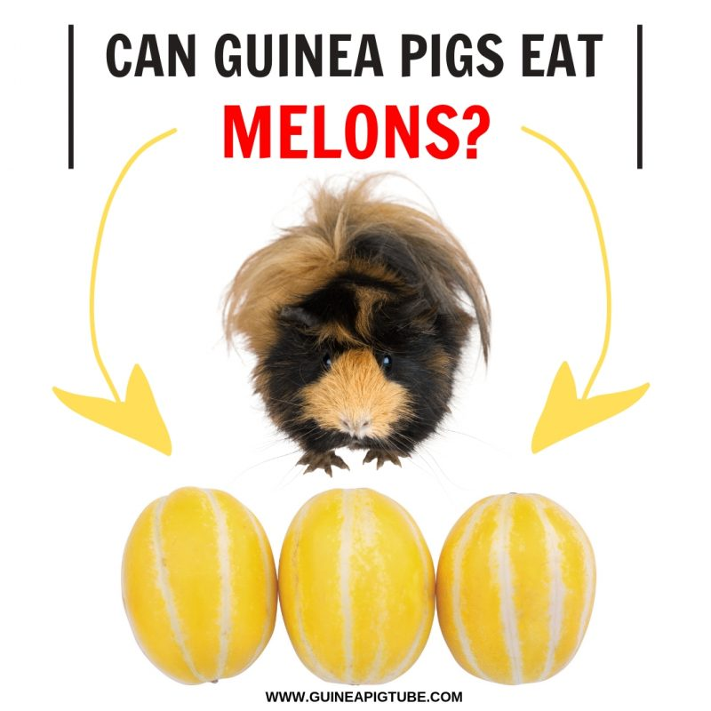 Can Guinea Pigs Eat Melons?
