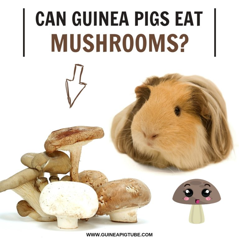 Can Guinea Pigs Eat Mushrooms