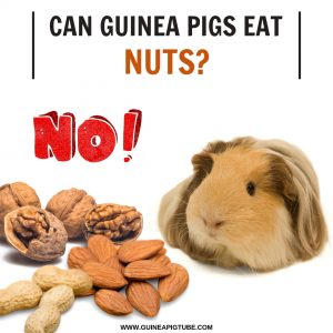 Can Guinea Pigs Eat Nuts