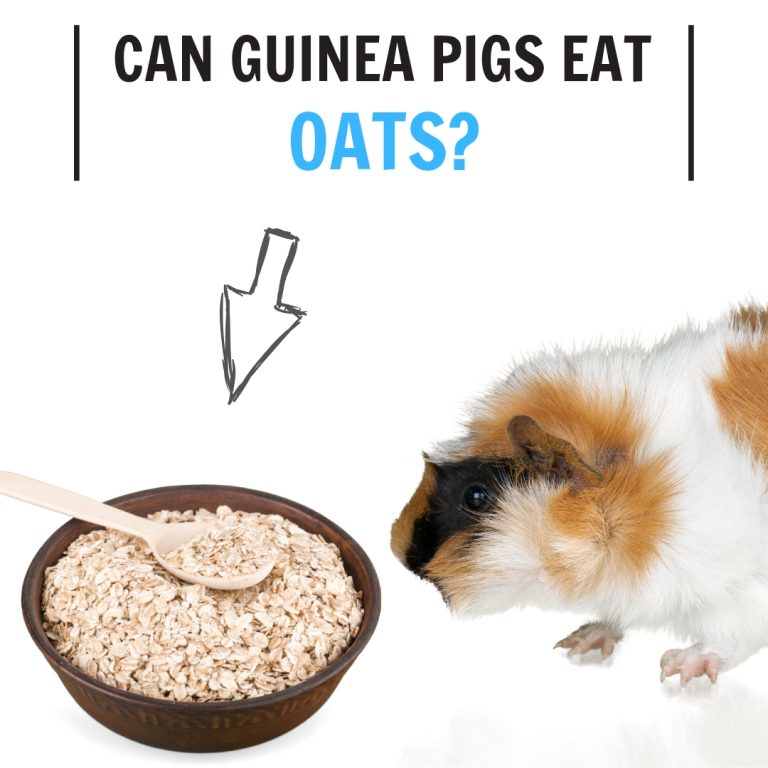 Can Guinea Pigs Eat Oats