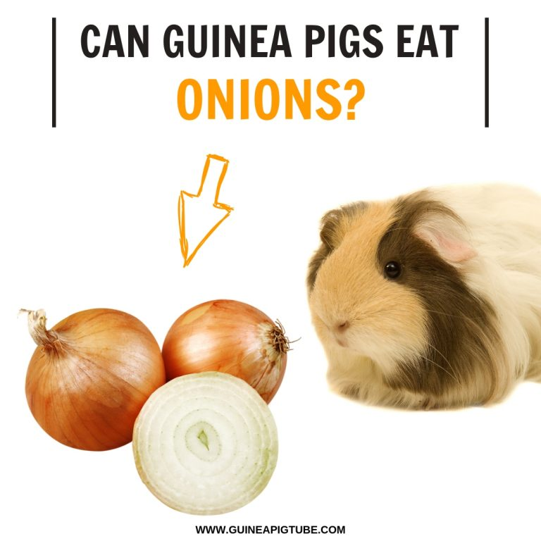 Can Guinea Pigs Eat Onions