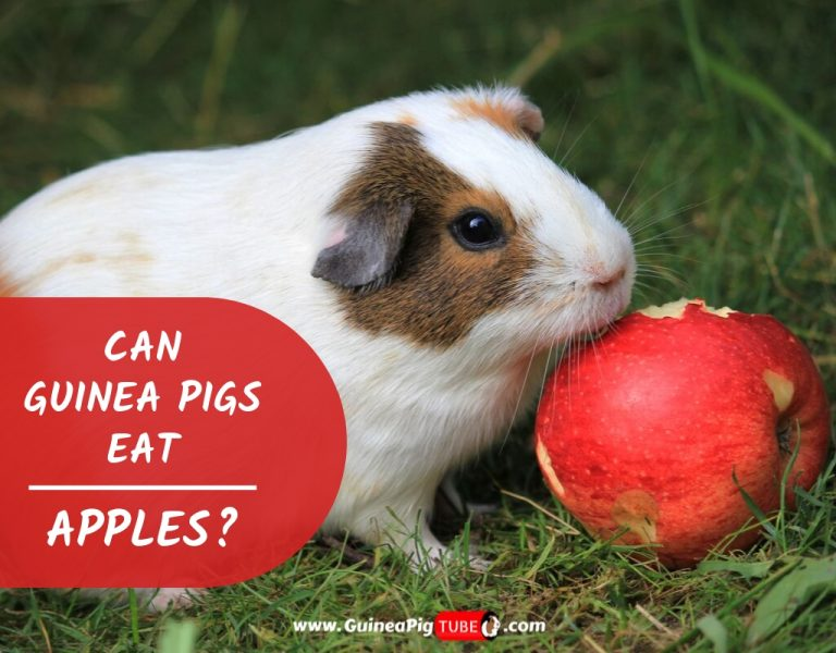 Can Guinea Pigs Eat Apples (Benefits, Risks, Serving Size & More)
