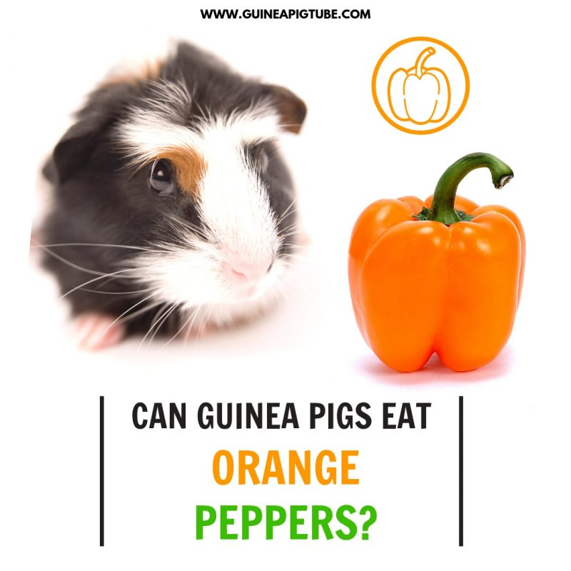 Can Guinea Pigs Eat Orange Peppers