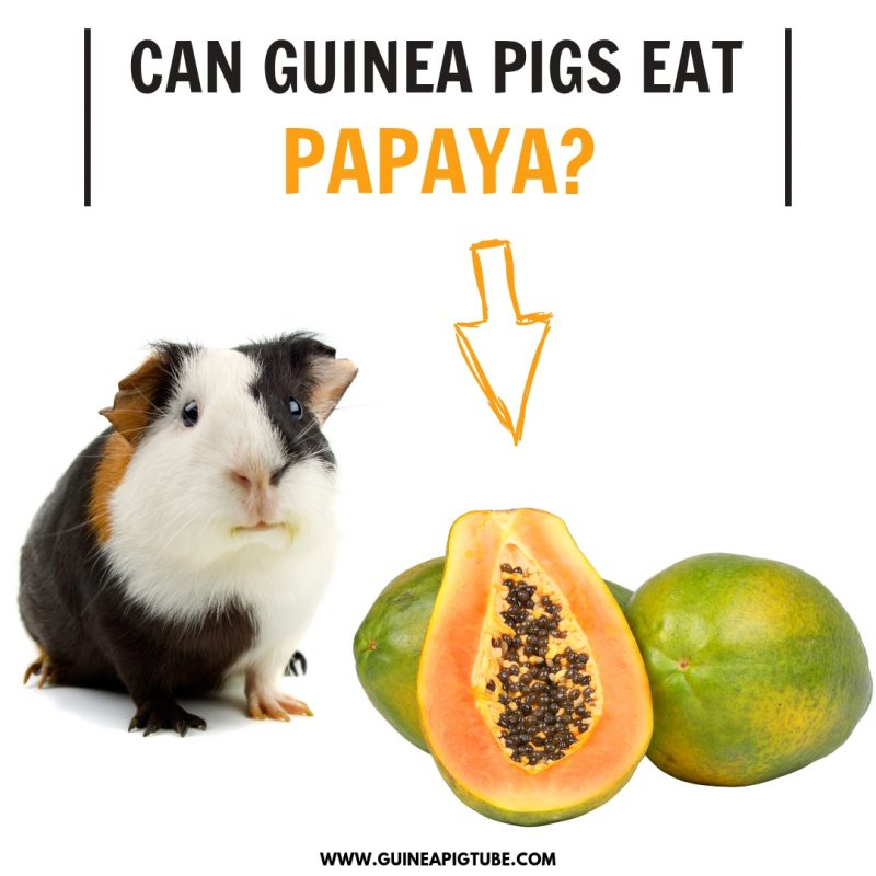 Can Guinea Pigs Eat Papaya