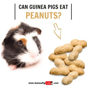 Can Guinea Pigs Eat Peanuts