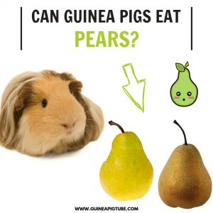 Can Guinea Pigs Eat Pears