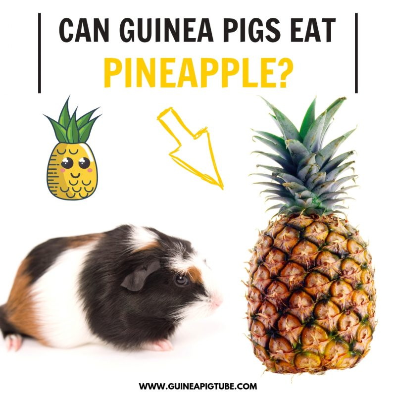 Can Guinea Pigs Eat Pineapple?