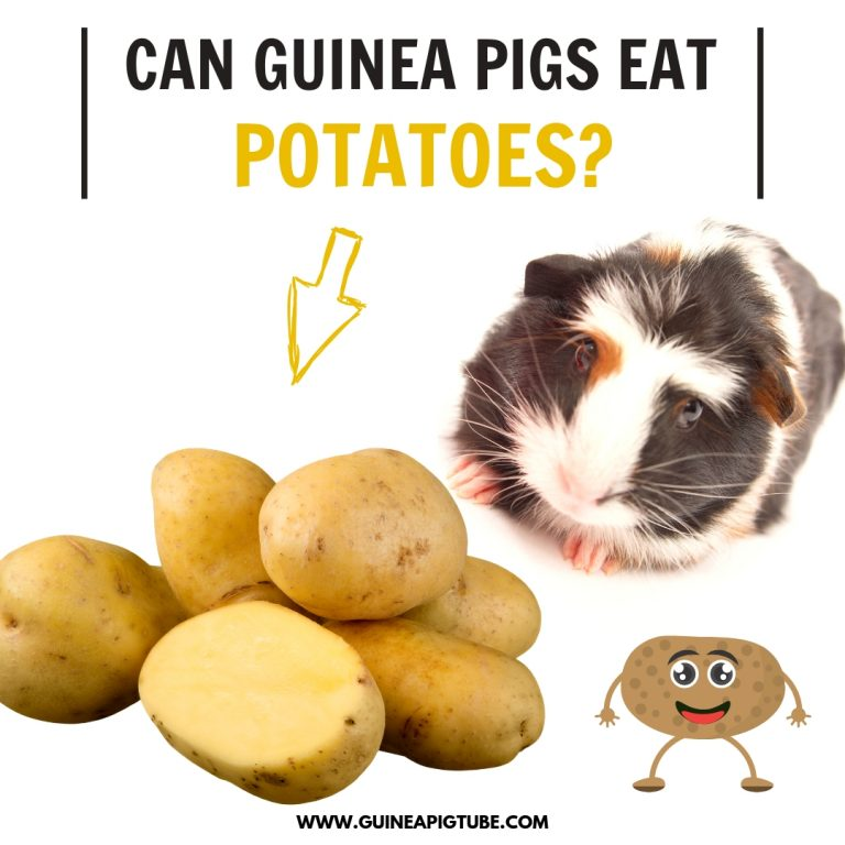 Can Guinea Pigs Eat Potatoes