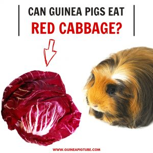 Can Guinea Pigs Eat Red Cabbage