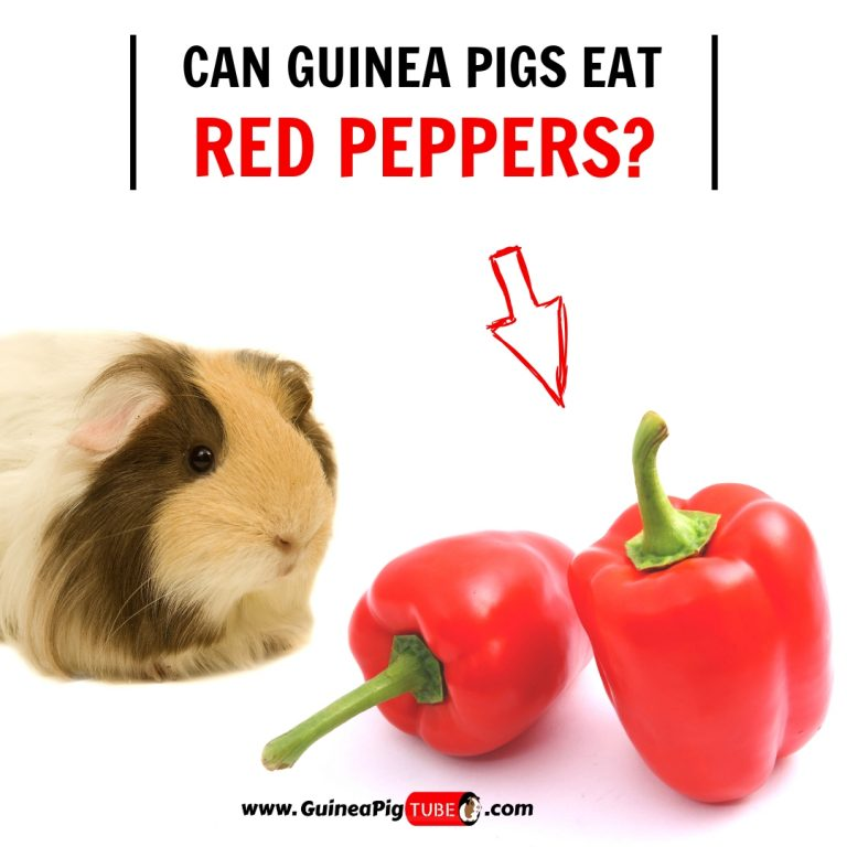 Can Guinea Pigs Eat Red Peppers