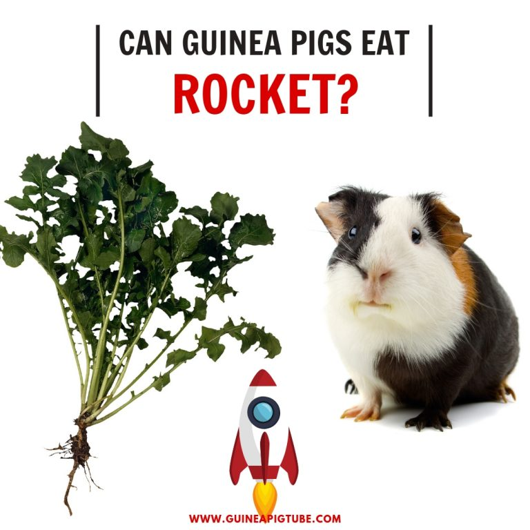 Can Guinea Pigs Eat Rocket