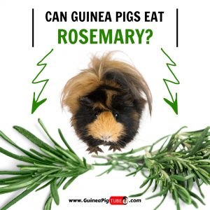 Can Guinea Pigs Eat Rosemary (Benefits, Risks, Serving Size & More)