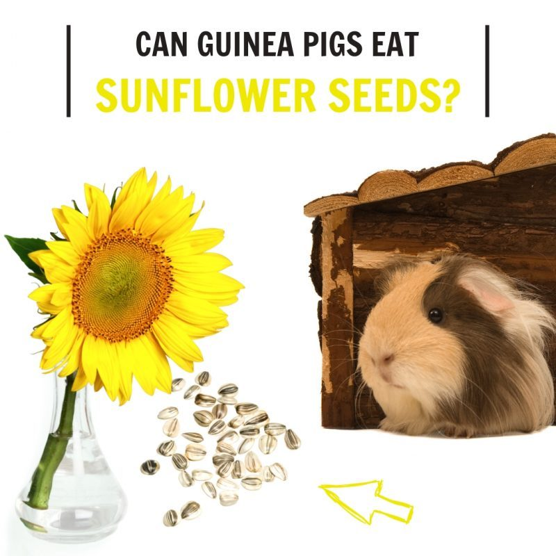 Can Guinea Pigs Eat Sunflower Seeds
