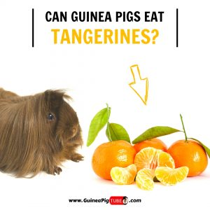 Can Guinea Pigs Eat Tangerines (Benefits, Risks, Serving Size & More)