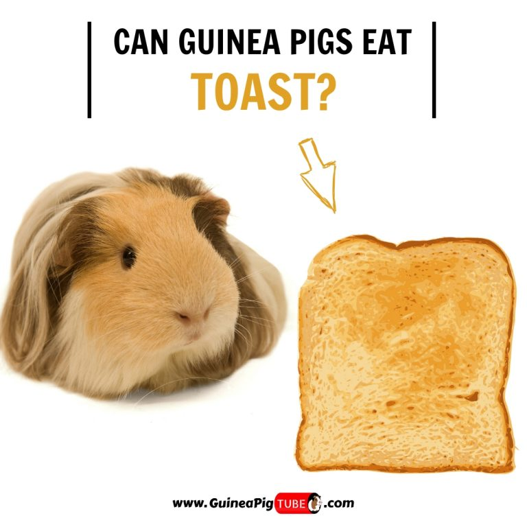 Can Guinea Pigs Eat Toast (Benefits, Risks & More)