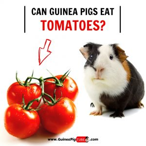 Can Guinea Pigs Eat Tomatoes (Benefits, Risks, Serving Size & More)