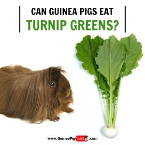 Can Guinea Pigs Eat Turnip Greens (Benefits, Risks, Serving Size & More)