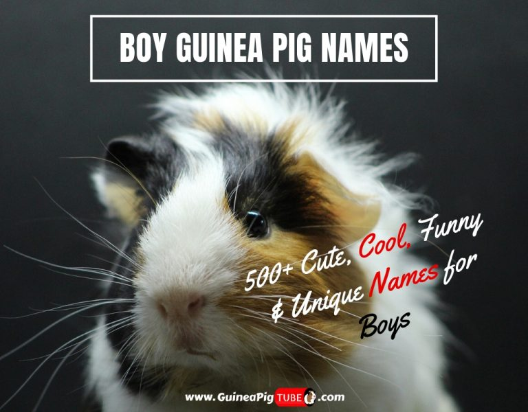 Boy Guinea Pig Names 500+ Cute, Cool, Funny & Unique Names